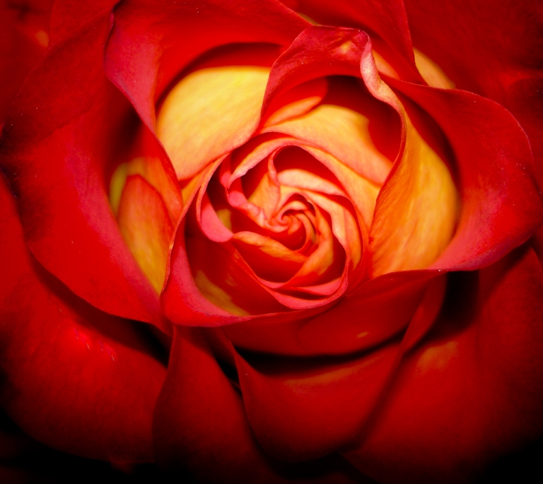05-flower-wallpaper-rose-aroma-stunning-background