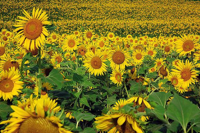 sunflowers 12