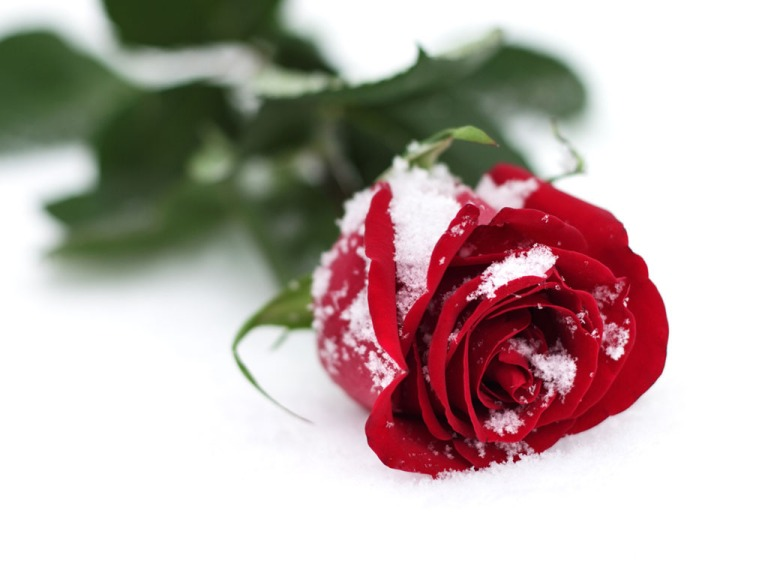 frosted_beauty_red_roses_iced_snow_season_hd-wallpaper-1891935
