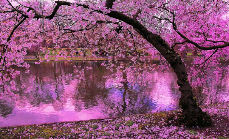 1734253-3469x2116-Cherry-Blossoms-in-Full-Bloom