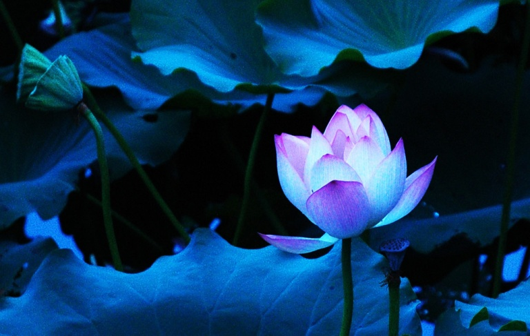 Blue Lotus Flower wallpaper 01