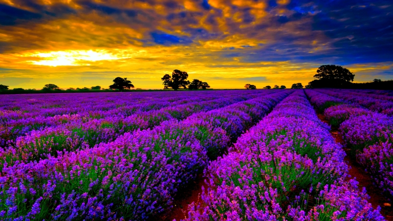 http://images.forwallpaper.com/files/images/6/68a7/68a789c8/255712/lavender-field-hdr.jpg