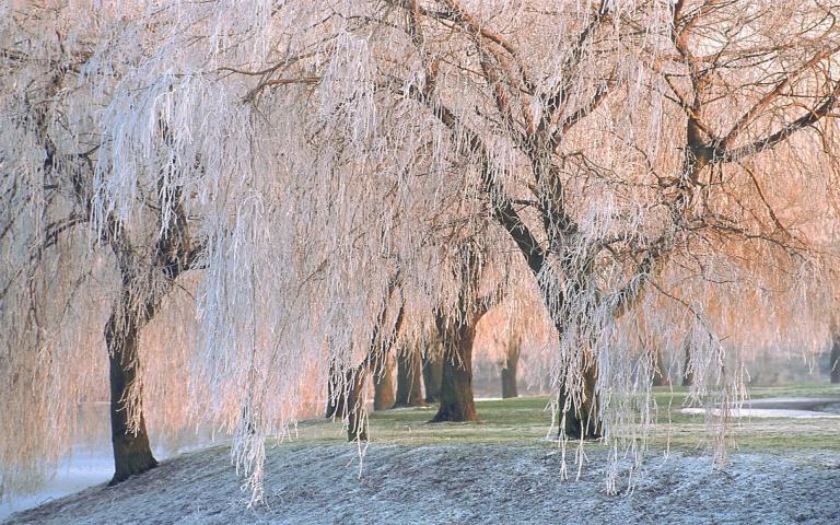 http://www.wallmild.com/wp-content/uploads/2013/11/Pink-Willow-Trees-Wallpaper.jpg