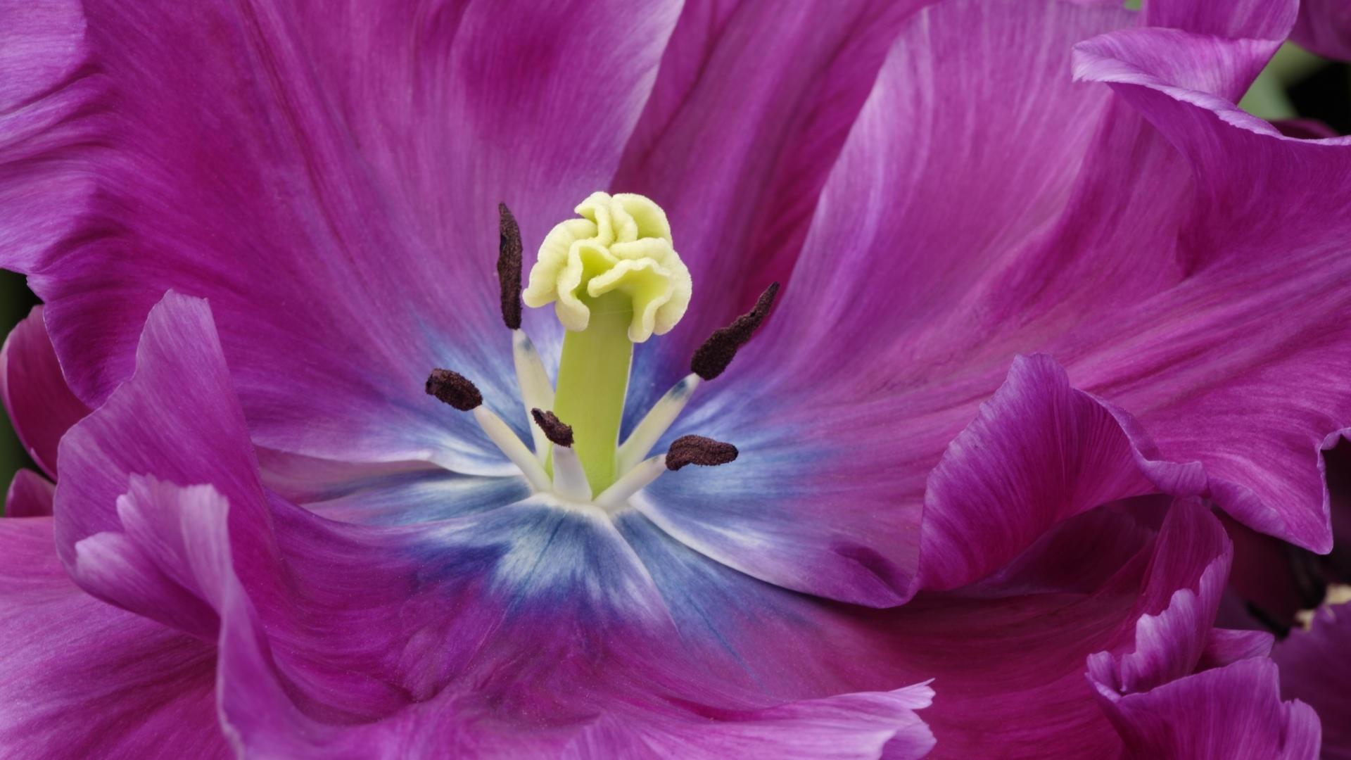 Image by Debbie Craft - Close-up of single purple tulip, Kuekenhof Gardens, Netherlands https://www.google.com.au/url?sa=i&rct=j&q=&esrc=s&source=images&cd=&ved=0ahUKEwjsivvnqKDRAhXCl5QKHQr8APAQjhwIBQ&url=http%3A%2F%2Fdebbiecraft.ca%2F&psig=AFQjCNFdx-vpLDxNw9jvXvh79taP_VW12A&ust=1483338501158697