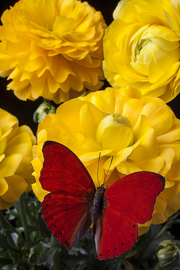 Image: http://images.fineartamerica.com/images-medium-large-5/yellow-ranunculus-and-red-butterfly-garry-gay.jpg