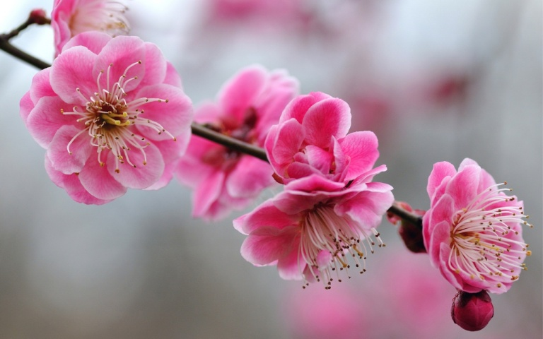 Image: http://onlyfreewallpaper.com/wallpapers/cherry-blossoms-1280x800.jpg