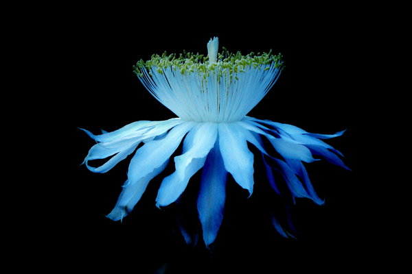 Night_Blooming_Cereus_by_Noctella