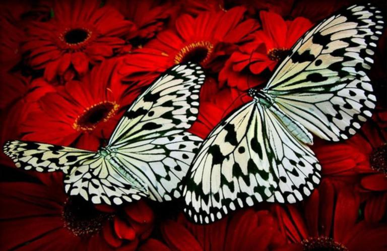 two_beautiful_butterflies-1582077