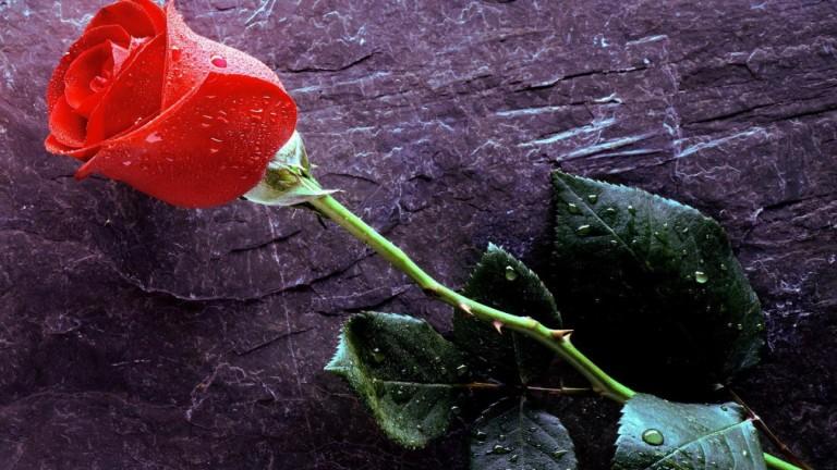 2-rose-flower-background-hd-wallpaper