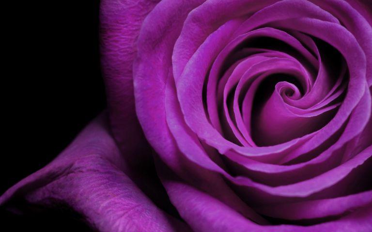 Beautiful-Purple-Rose-Flower