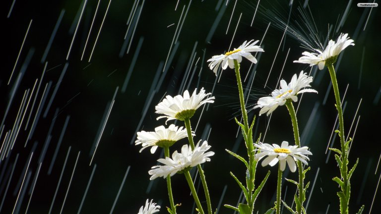 white_rain_pure_beautiful_flowers_nature_hd-wallpaper-784468