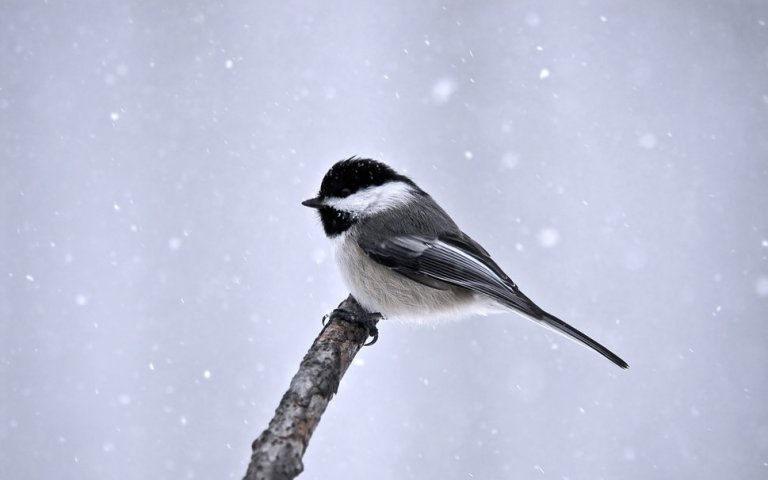 121641__bird-bird-snow-winter-branch-minimalism_p
