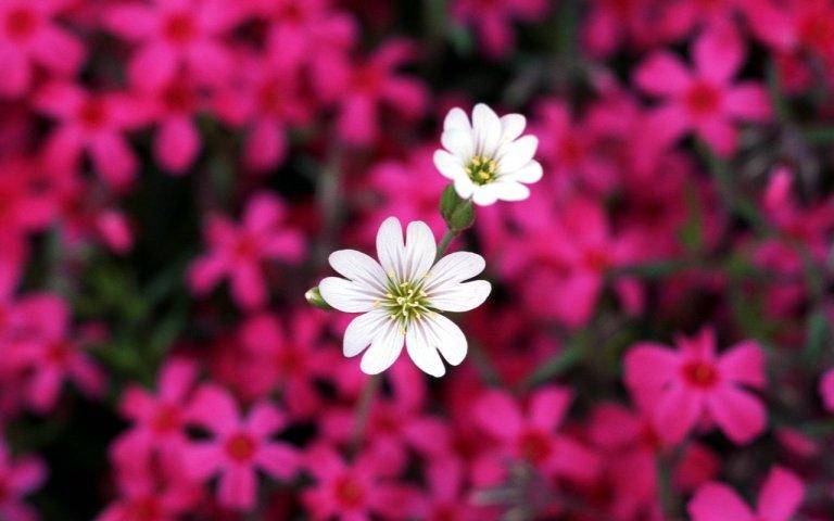 beautiful_flowers_wallpaper_hd