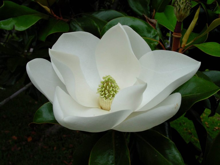 Magnolia Blossom Wallpapers 6