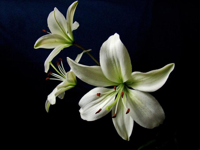 white-lilies-on-blue-sandy-keeton