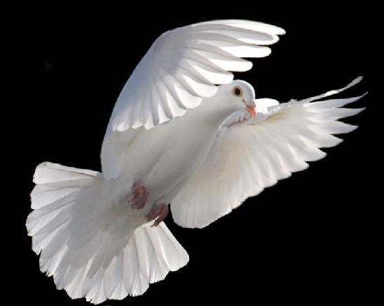 15 Beautiful White Dove High Quality Wallpapers (7)