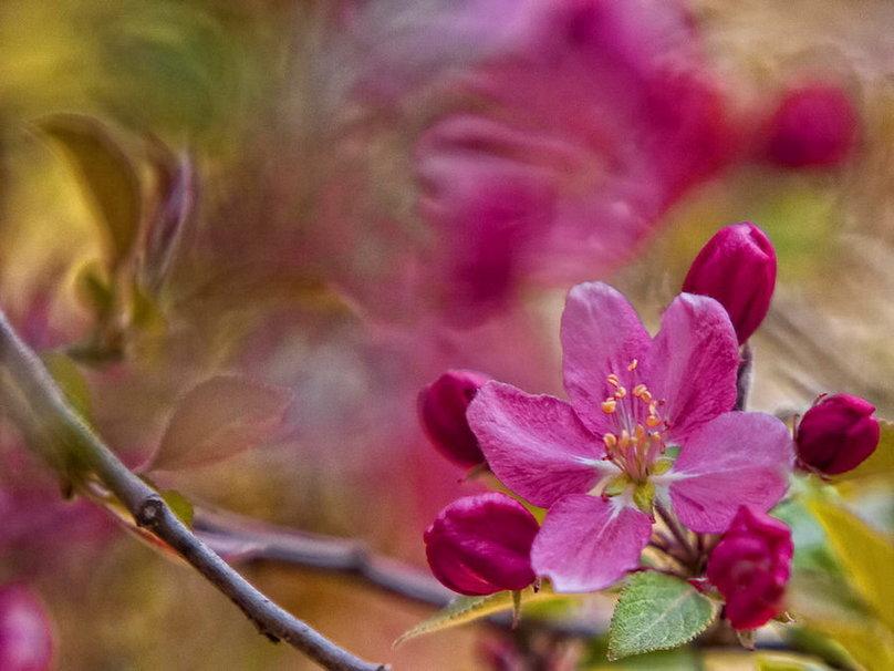 175580__cherry-blossom_p