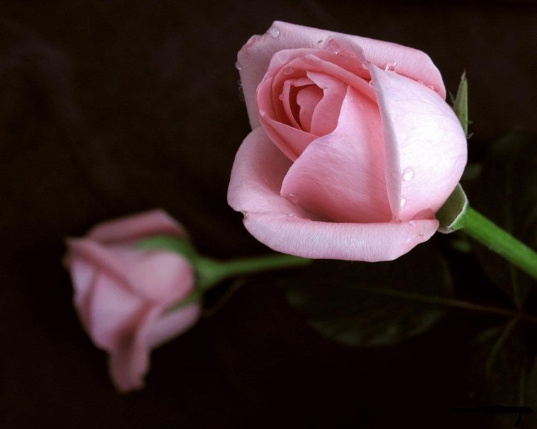 515391__pink-rose-for-my-dear-luciah_p