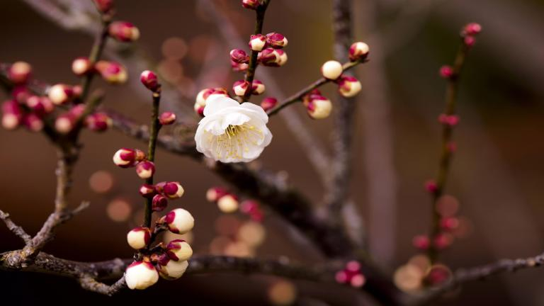 apricot-flower-spring