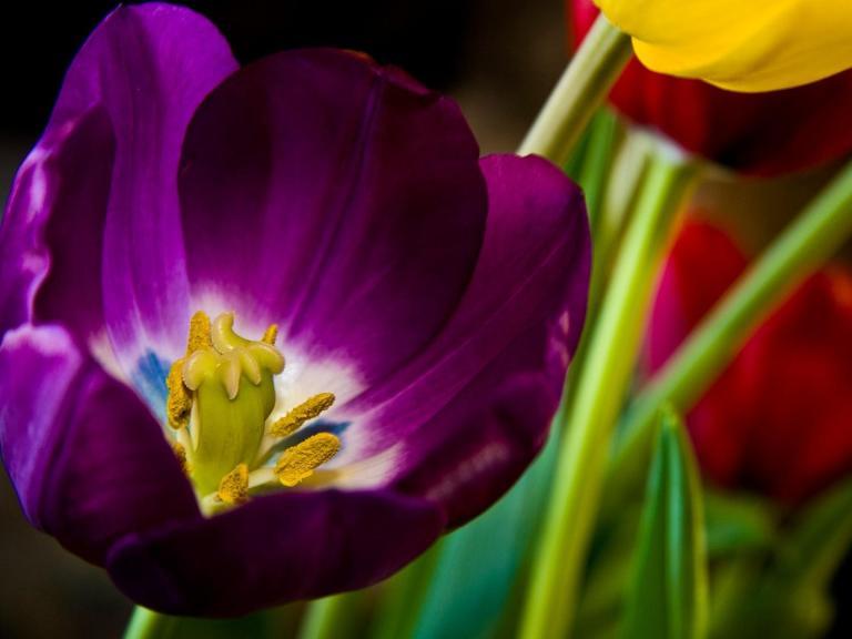 beautiful_purple_tulip-1180662