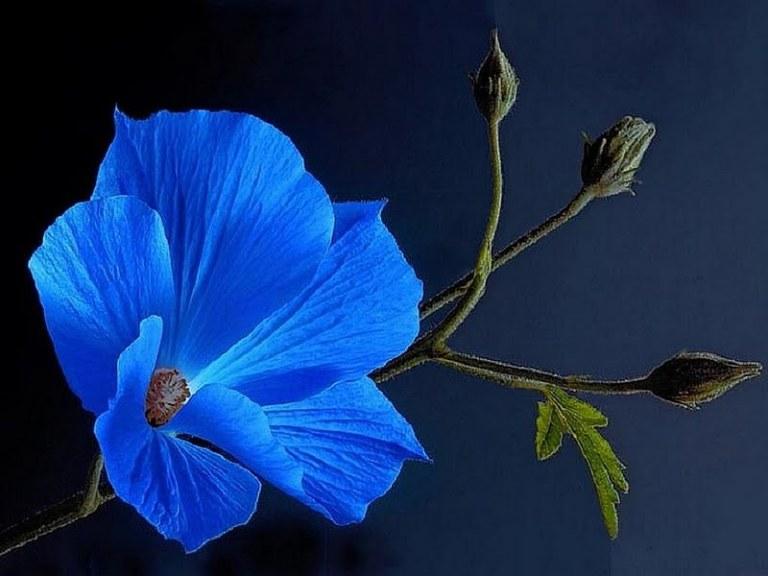 blue-flower-187757