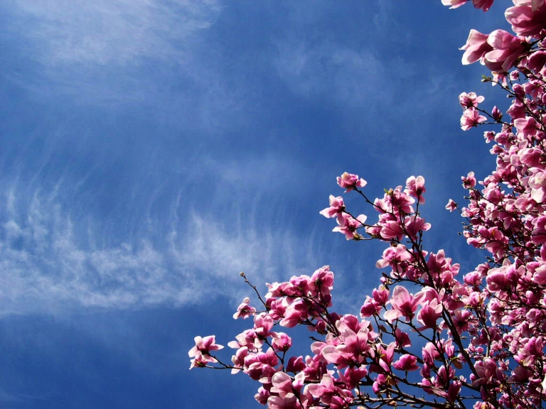 Cherry_Blossoms_and_Sky_HD_Nature_Wallpaper-Vvallpaper.Net