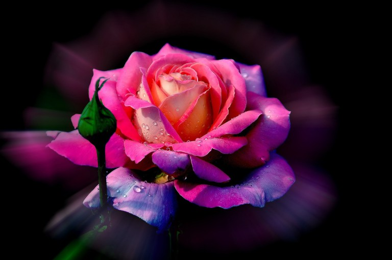 Real-Rainbow-Rose-Images-05315