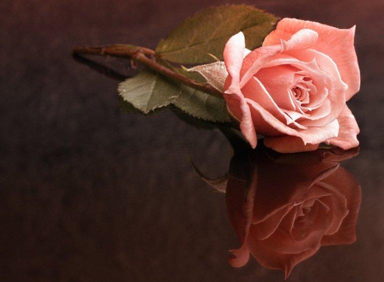 76367__delicate-pink-rose_p
