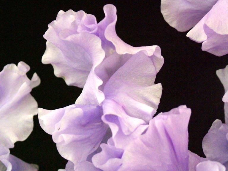 floating_petals_mauve_flowers_nature_hd-wallpaper-156657