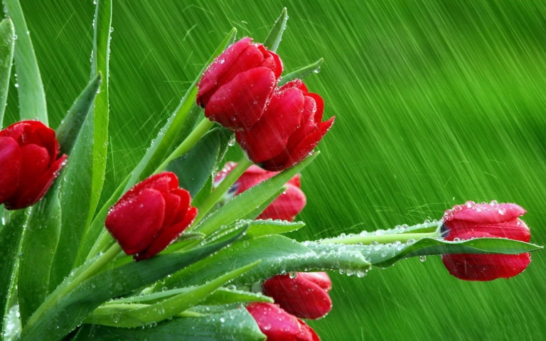 Nature_Flowers_Tulips_in_the_rain_033005_