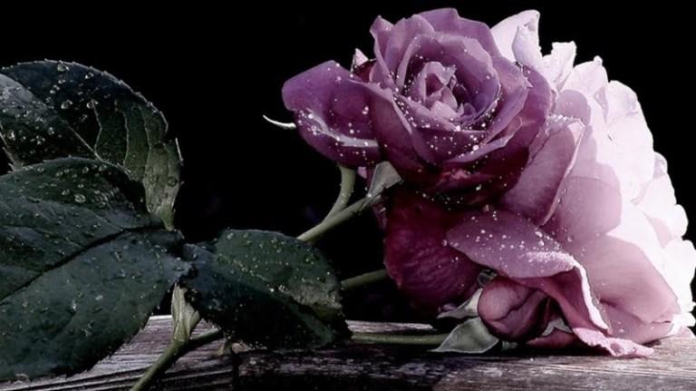 rose-186509