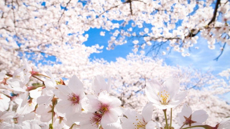 sakura-cherry-blossoms-232932