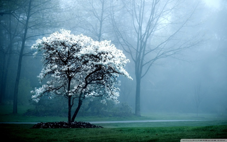 white_magnolia_tree_wallpaper_1920x1200_by_darkeagle2011-d5pv39b