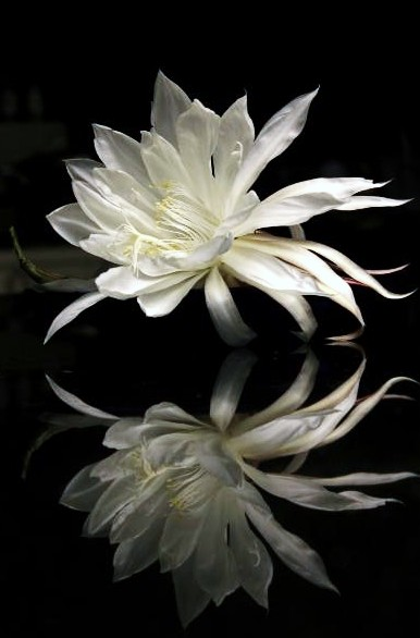 Image: Moon Flower By Anna Pham
