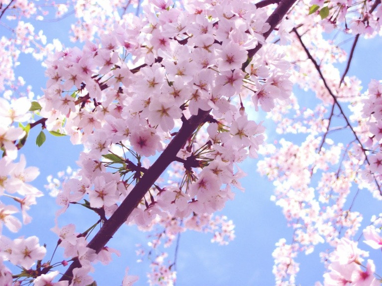 Beautiful-Cherry-Blossom-cherry-blossom-35246794-2592-1944