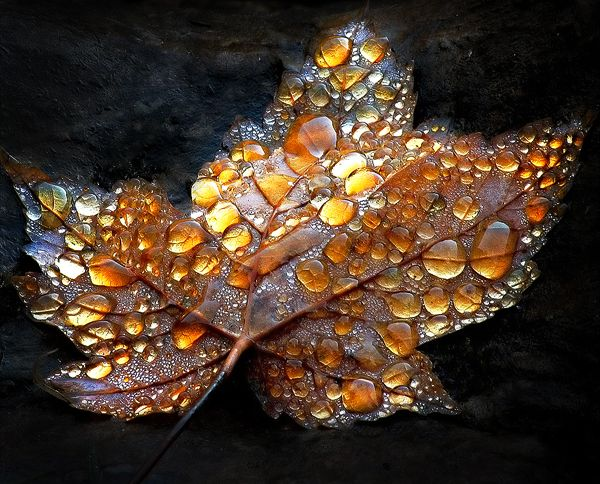 Image:Bobbie Gross Andrews autumn leaf