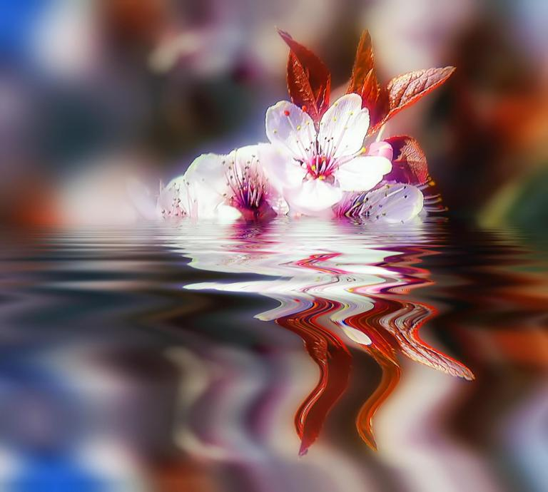 cherry_blossom_reflection_flowers_water_hd-wallpaper-1953075