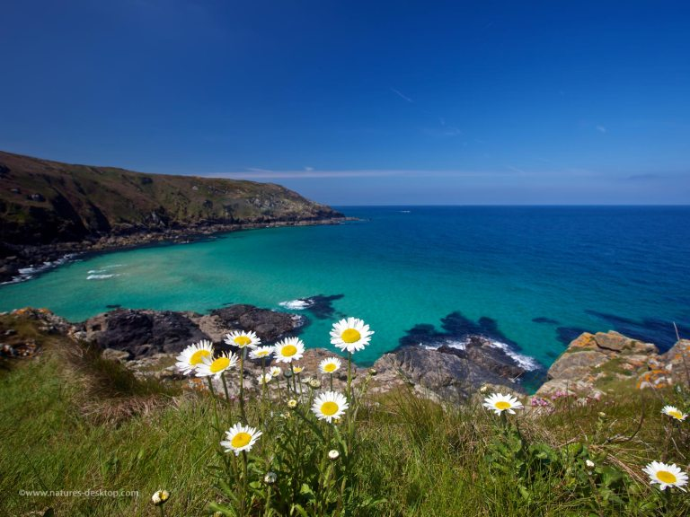 daisies on the Cornish coastal path near St Ives, with the green waters of the Atlantic ocean in the background