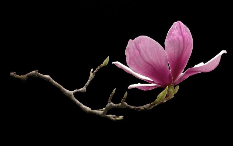 magnolia_black_spring_branch_flower_pink_hd-wallpaper-1857345
