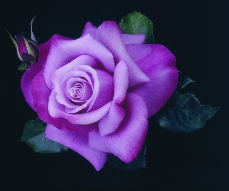 Natural-Index-Purple-Rose
