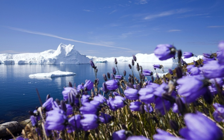 purple-arctic-flowers-in-the-cold-1920x1080