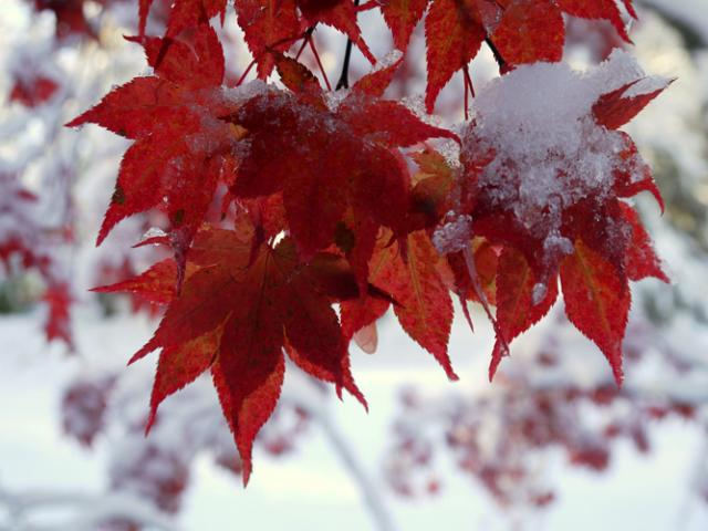 red maple leaves in snow.preview