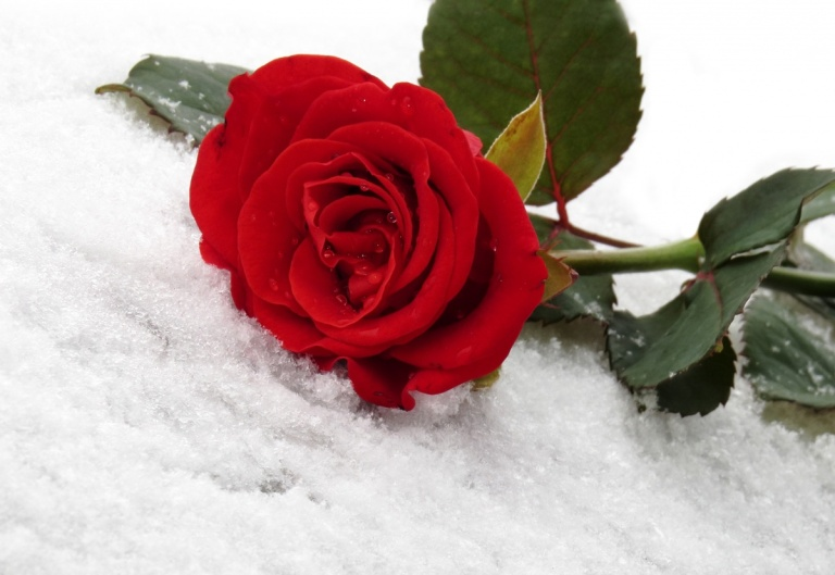 Red rose on the white snow
