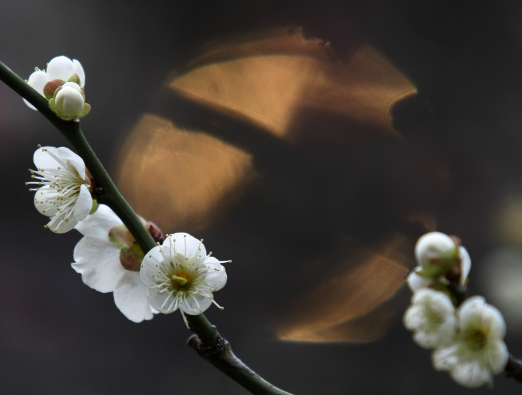 A white plum tree in blossom is seen at Yushimatenjin temple in Tokyo February 19, 2009. REUTERS/Kim Kyung-Hoon (JAPAN)
