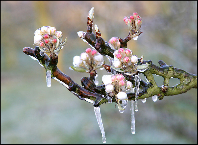 Frozen Blossom by Betuwefotograaf on DeviantArt